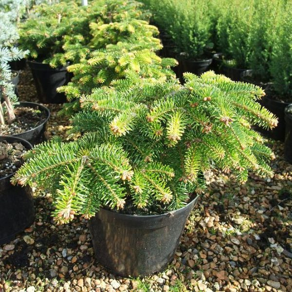 abies barabit's compact 1 small_l