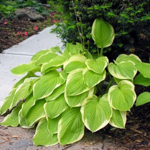 hosta american dream