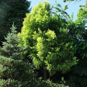 cryptomeria sekkan sugi 1 small_l
