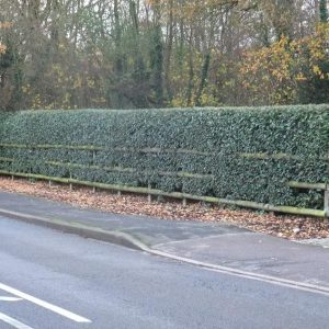 Elaeagnus Hedging uk