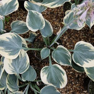 hosta aristocrat small_l