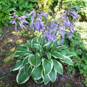 hosta bedford rise and shine jul14 small_l