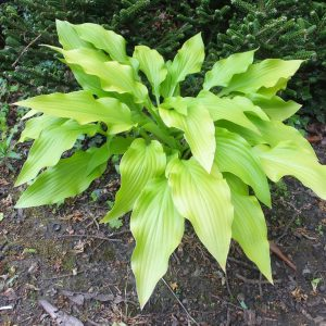 hosta golden oriole sm_l