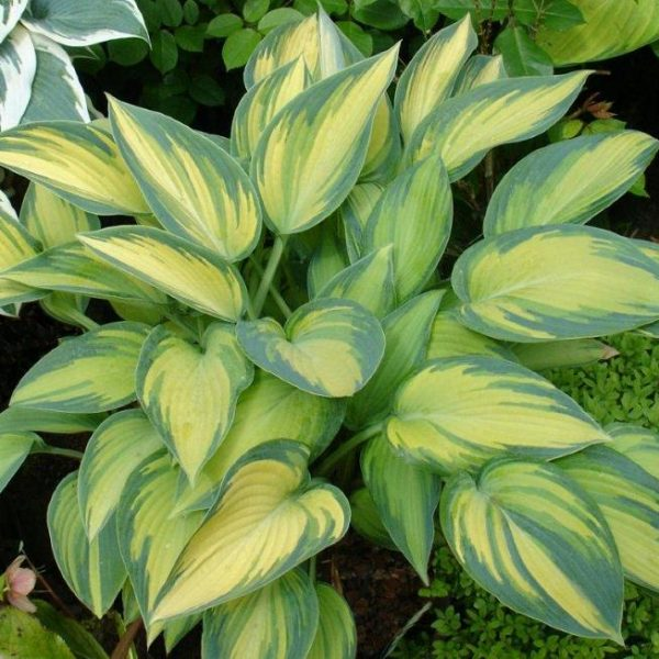hosta 'june'-small_l