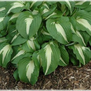 hosta nbc-small_l