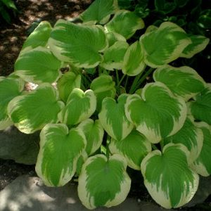 hosta shade fanfare_l