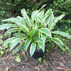 hosta stiletto sm 2_l