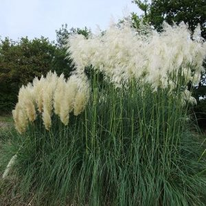 pampas-small_l