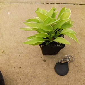 Hosta Lime Fizz